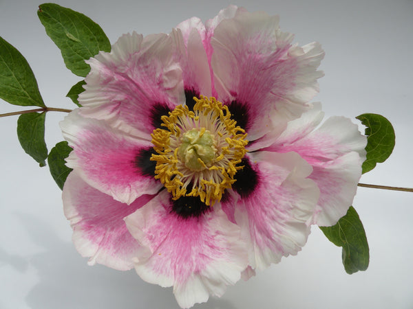 Glory of the Sun and Moon, Chinese rockii tree peony