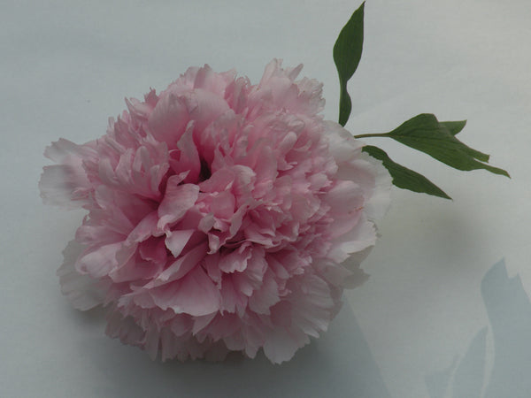 Fairy Maiden of Mt. E Mei, Chinese tree peony