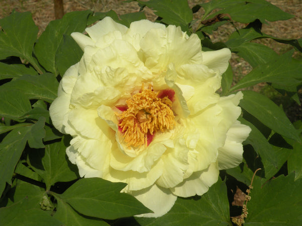 Golden Crown, Japanese tree peony