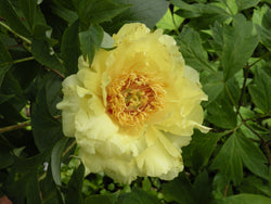 Gold Sovereign, hybrid tree peony