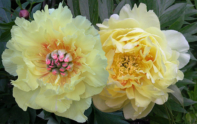 Golden Treasure Intersectional peony pair