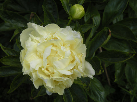 Golden Wheel, Chinese herbaceous peony