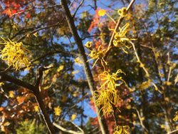 Hamamelis virginiana, Common Witchhazel