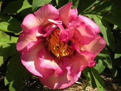 Happy Days, hybrid tree peony