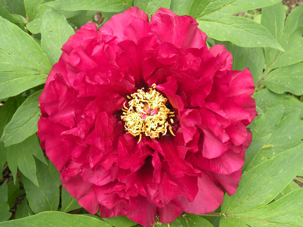 Hephestos, hybrid tree peony WILL BE AVAILABLE FOR FALL 2021