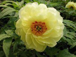 High Noon, American tree peony