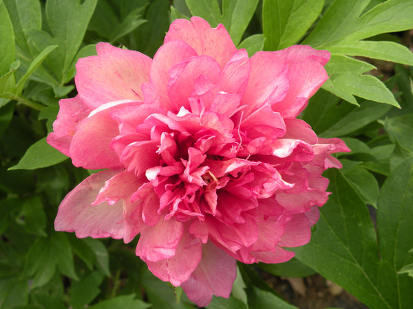 Hillary, intersectional 'Itoh' peony