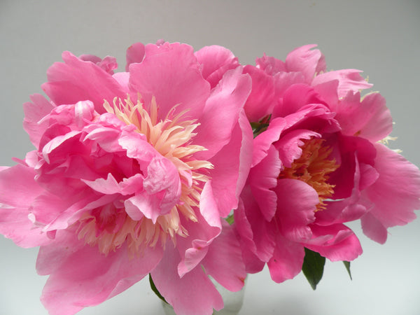 Hope's Star of Heaven, hybrid herbaceous peony