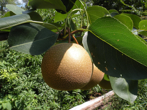 Pear, 'Hosui' Japanese