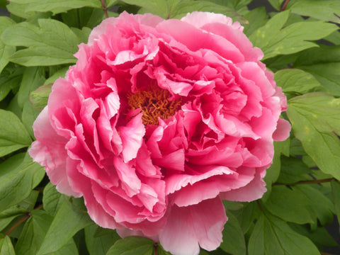 Treasure Mountain, Japanese tree peony