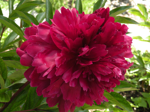 Iron Stem Purple, Chinese herbaceous peony