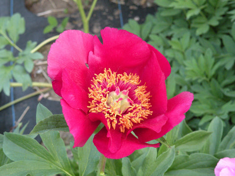 Paeonia officinalis 'J. C. Wegulin', species herbaceous peony