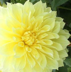 Kelvin Floodlight, Dahlia