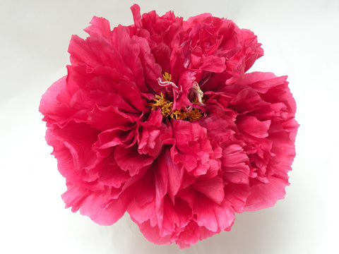 King of Flowers, Japanese tree peony