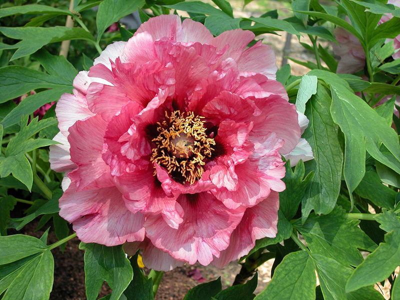 Leda, hybrid tree peony WILL BE AVAILABLE FOR FALL 2021