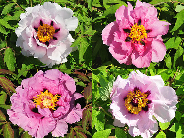 Light Pink Lotus, Seed grown tree peony
