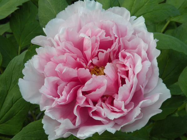 Lion of Yatsuka, Japanese tree peony WILL BE AVAILABLE FOR FALL 2021