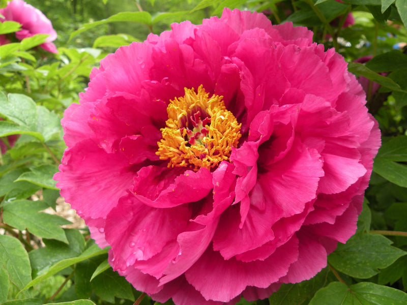 Luoyang Red, Chinese tree peony WILL BE AVAILABLE FOR FALL 2021
