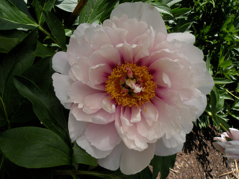 Luxuriant, intersectional 'Itoh' peony