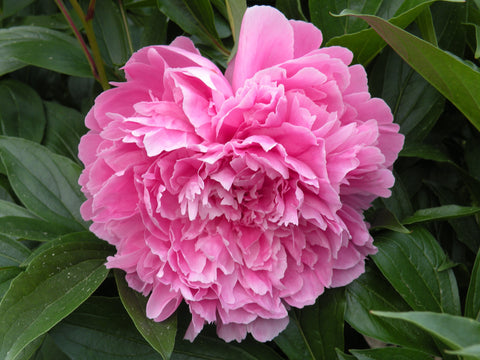 Maiden's Dress, Chinese herbaceous peony