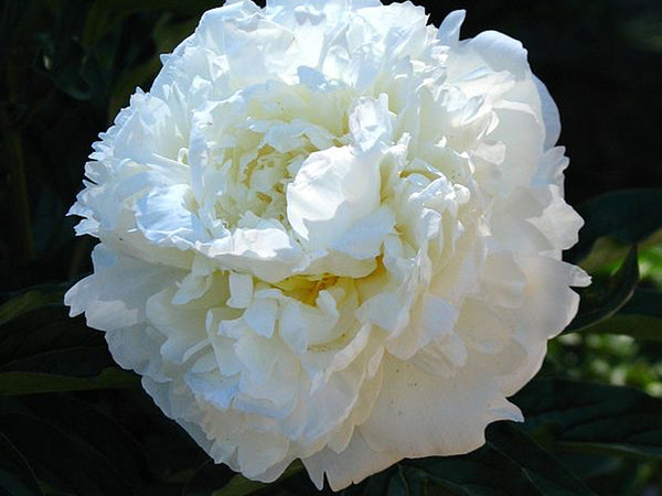 Marie Lemoine, heirloom herbaceous peony