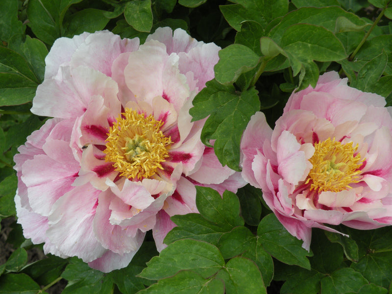 Multi-Colored Butterfly, Chinese tree peony WILL BE AVAILABLE FOR FALL 2021