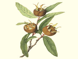 Medlar, 'Breda Giant' scion