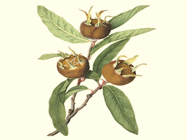 Medlar, 'Sultan' scion