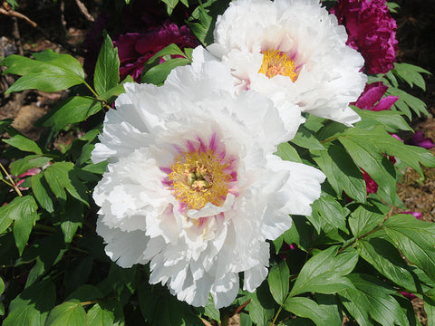 Emperor's Bright Treasure, Japanese tree peony
