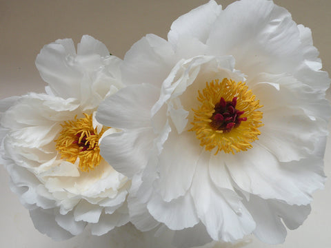 Minnie Shaylor, herbaceous peony