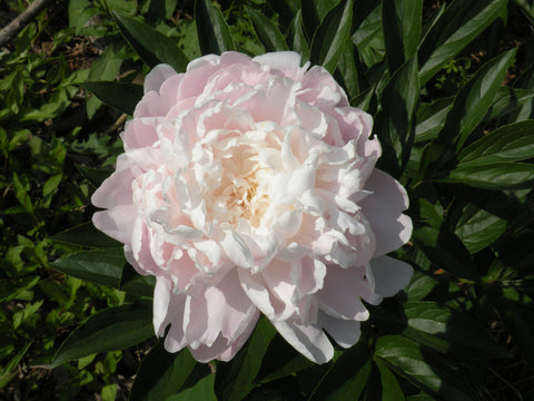 Moonstone, herbaceous peony