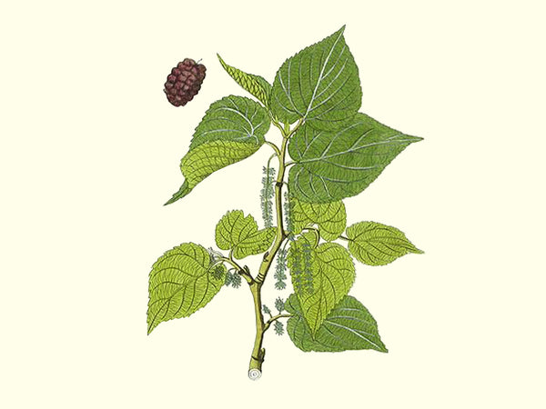 Mulberry, 'Iraqi White' scion