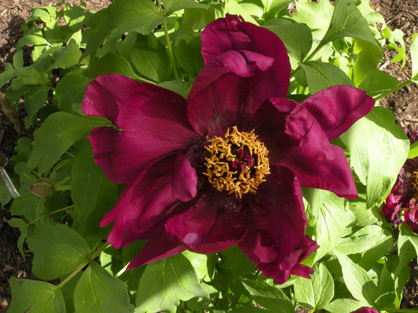 A Murder of Crows, Japanese tree peony