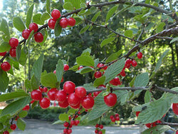 Nanking Cherry- POTTED