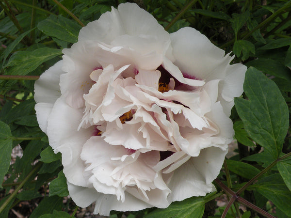 Noblewoman, Chinese rockii tree peony WILL BE AVAILABLE FOR FALL 2021