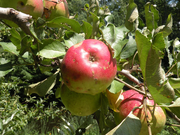 Apple, heirloom'Northern Spy'