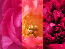 """Hot Colors"" Peony Landscape Trio- no staking required"
