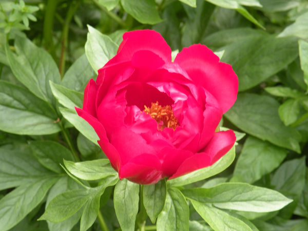 Paladin, hybrid herbaceous peony