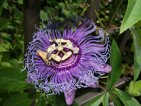 Maypop, native passion flower