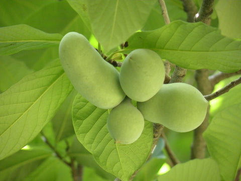 Pawpaw, 'Sweet Virginia'
