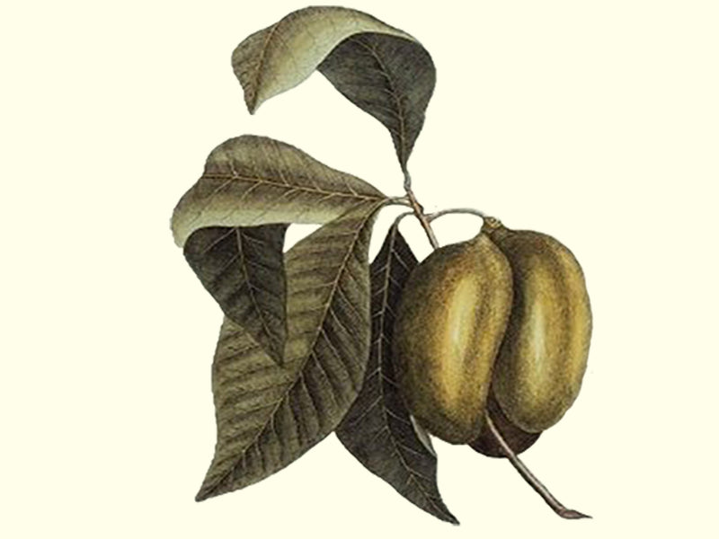 Pawpaw, 'Quaker Delight' scion