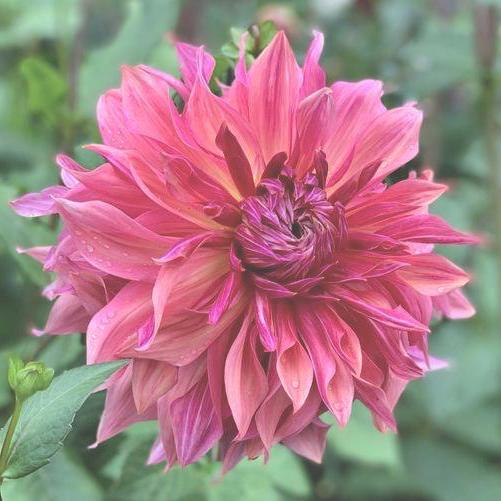 Penhill Dark Monarch, Dahlia