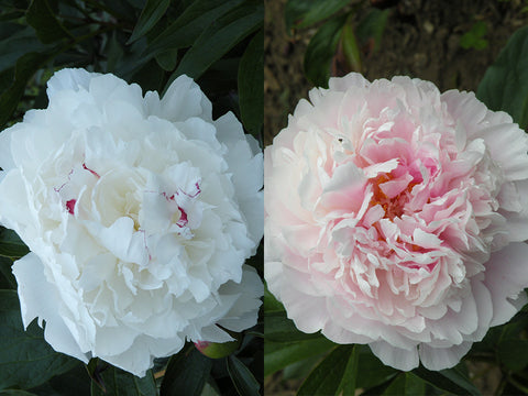 Heirloom Cutting Garden herbaceous peony pair
