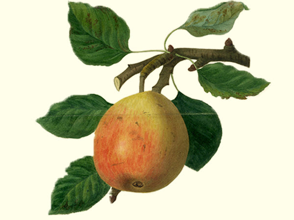 Pear, 'Gin' heirloom perry pear