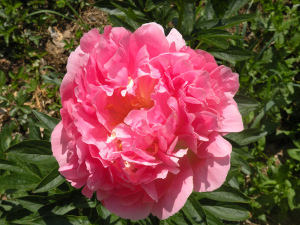 Available Spring - Pink Hawaiian Coral, hybrid herbaceous peony
