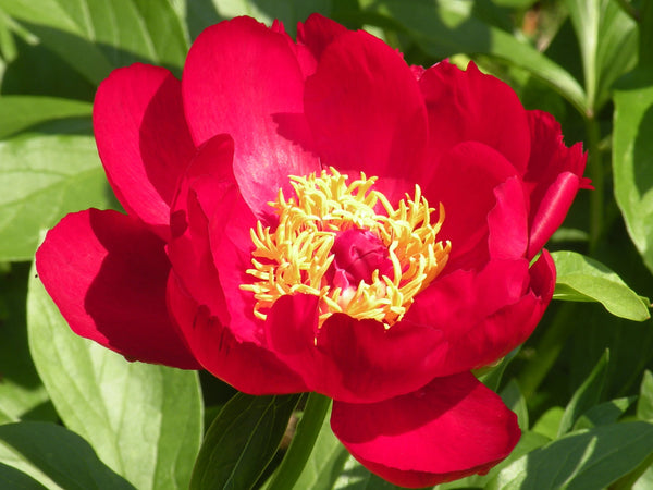 Postilion, hybrid herbaceous peony