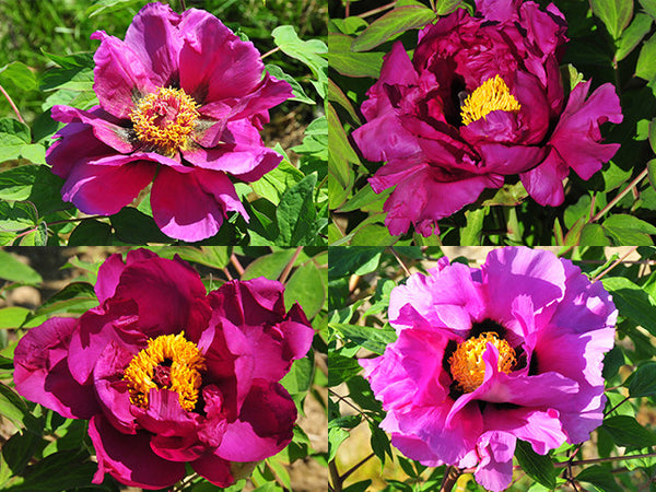 Purple Lotus, seed grown tree peony