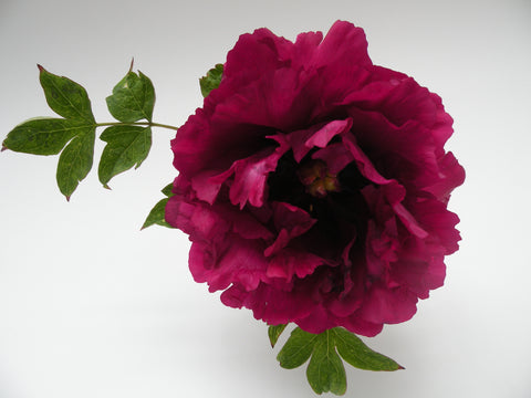 Purple Silk, Chinese rockii tree peony