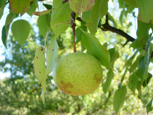 Pear, Chinese 'Beijing White'