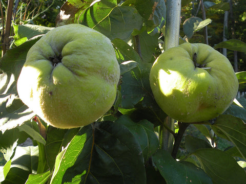 Quince, heirloom 'Portugal'